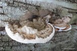 Photo of Ganoderma applanatum (Artist's Conk)