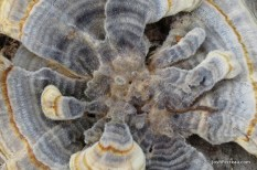 Photo of Trametes versicolor (Turkey Tail)