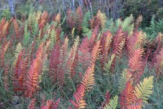 Photo of Virginia Chain Fern fall colony