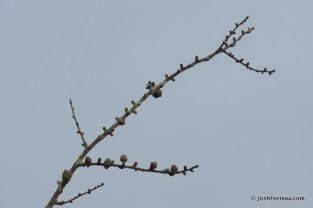 Photo of American Larch bare branches