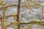 Photo of American Larch branches in fall
