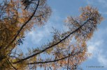 Photo of American Larch in fall
