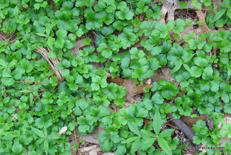 Medicinal Plants Three Leaved Goldthread Josh Fecteau