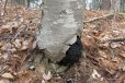 Cherry Birch is one of the hosts of Chaga (Inonotus obliquus)