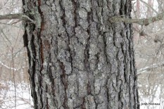 Photo of Jack Pine bark