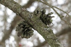 Photo of Jack Pine old cones