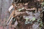 Photo of Yellow Birch bark