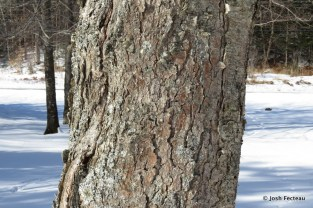 Photo of Yellow Birch bark