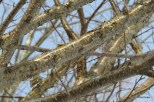 Photo of Yellow Birch branches