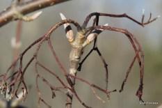 Photo of Nannyberry (Viburnum lentago)