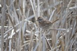 Photo of Song Sparrow