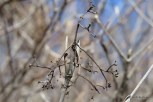 Photo of Withe-rod (Viburnum nudum)