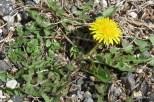Photo of Common Dandelion