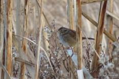 Photo of Swamp Sparrow (December)