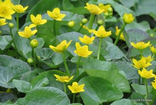 Photo of Marsh-marigold