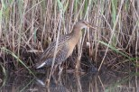 Photo of King Rail