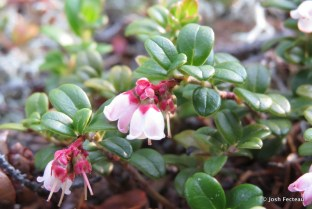 Photo of Mountain Cranberry