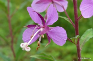 Photo of Narrow-leaved Fireweed