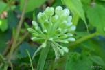 Photo of Wild Leek flower buds