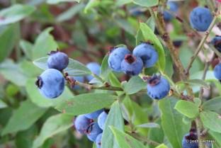 Photo of Common Lowbush Blueberry