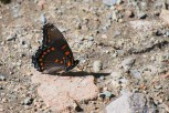 Photo of Red-spotted Purple