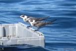 Photo of Black Terns