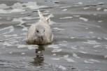 Photo of Iceland Gull