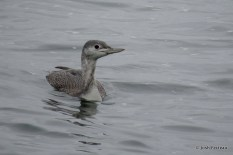Photo of Red-throated Loon