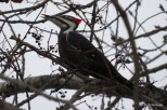 Photo of Pileated Woodpecker