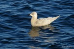 Photo of Iceland Gull (immature)
