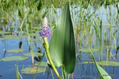Photo of Pickerelweed