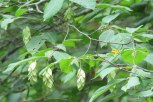 Photo of Hop-hornbeam fruit