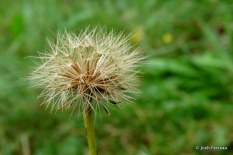 Photo of Fall-dandelion seeds