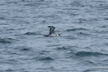 Photo of Great Shearwater