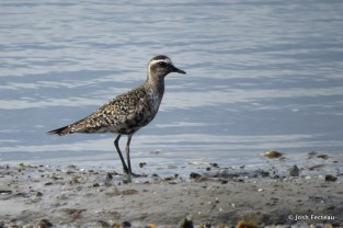Photo of American Golden-Plover
