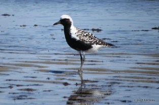 Photo of Black-bellied Plover (June)