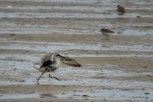 Photo of Black-bellied Plover (August)
