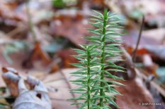 Photo of Common Interrupted-clubmoss