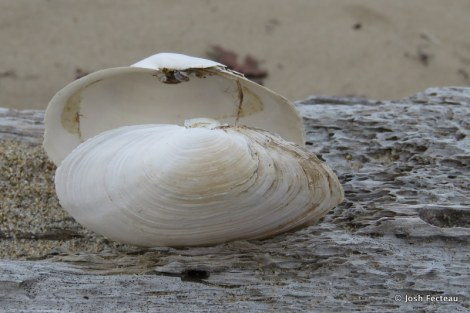 Photo of Soft-shelled Clam