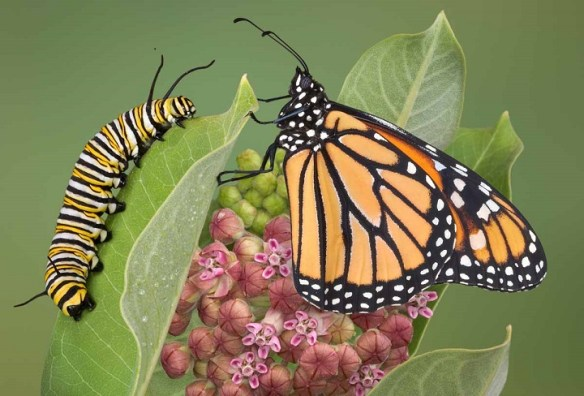 """Caterpillar looks nothing like the adult monarch.  The caterpillar does not """"grow into"""" a butterfly , but rather dissolves itself within the crysalis and starts over to build a new body."""