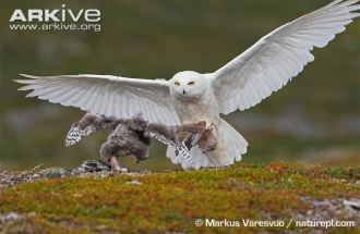 Male-snowy-owl-landing-at-the-nest-with-food-for-chick