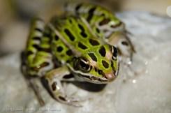 Froggie2
