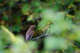 Cedar Waxwing on a Branch