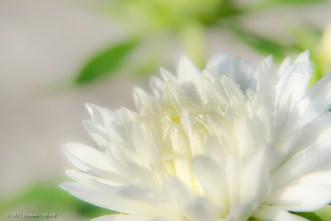Soft White Flower