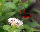 Black and Red Butterfly in Motion