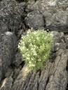 White Flowers on Rocks