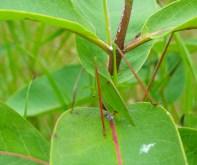 Green Bug on Milkweed Leaf
