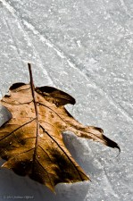 A Leaf in the Cold