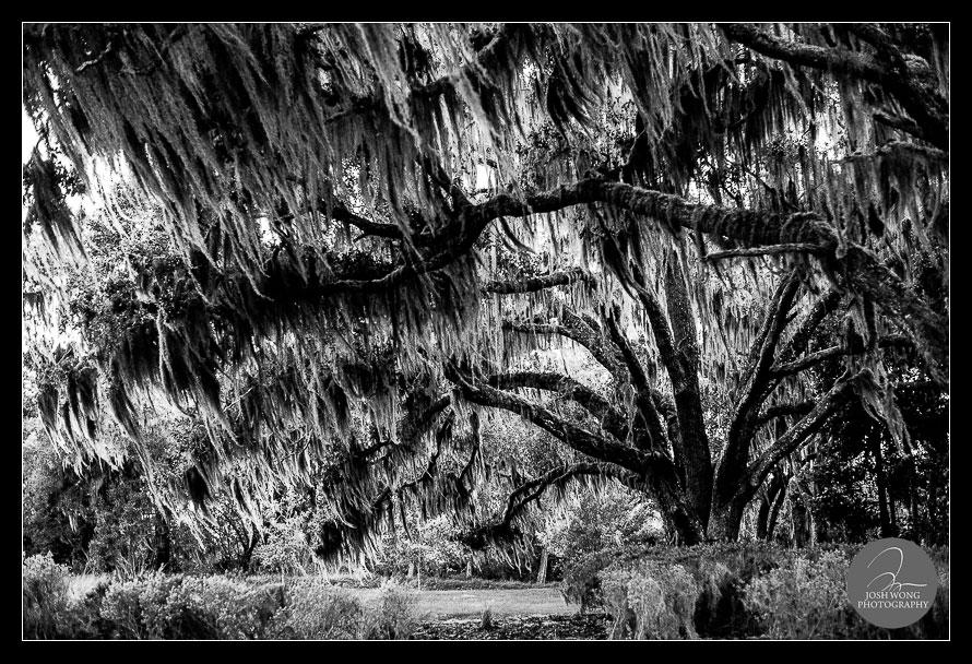 Bella Collina's Willow Tree