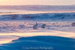 Arctic Hares, Photo by JosieB